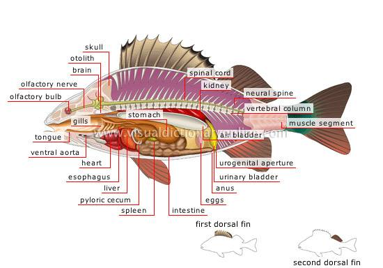 The intestines of carnivorous fish