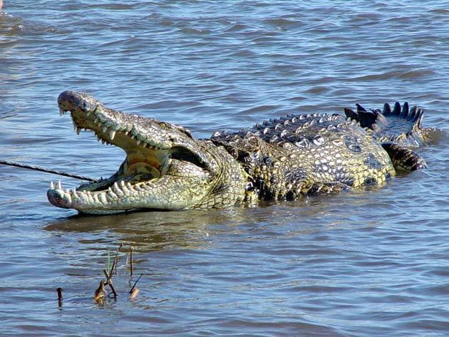 التمساح النيلي