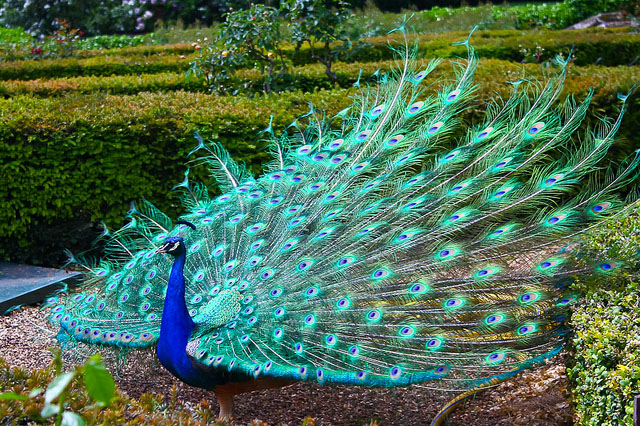 colorful-and-beautiful-pictures-of-peacock-8.jpg