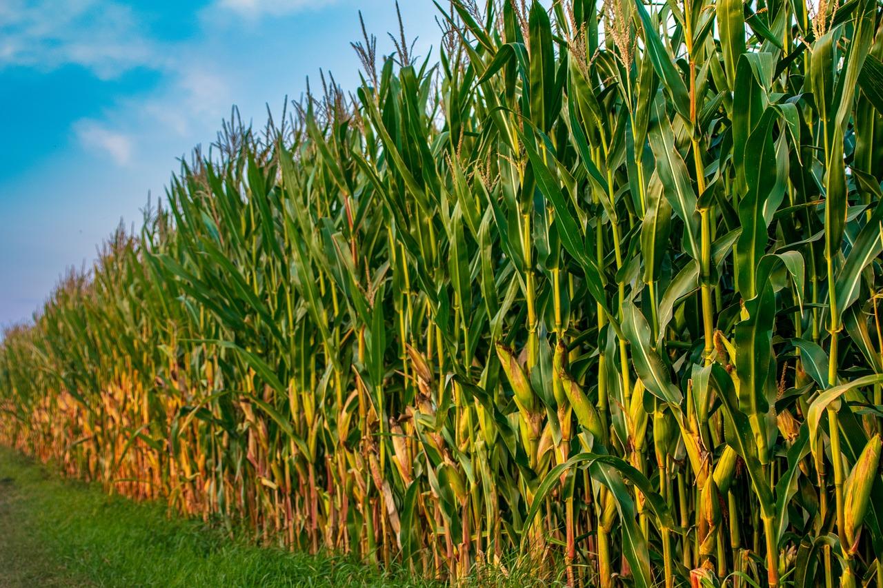 زراعة محصول الذرة قرب الحقل الحيواني
